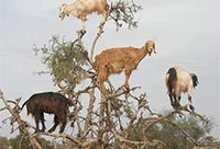 Goats in tree crop